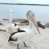 Australian pelican. Non-breeding adults. Caloundra, Queensland, Australia, August 2008. Image © Alan Tennyson by Alan Tennyson