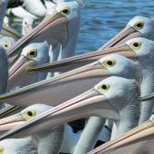 Australian pelican. Adult flock. The Entrance, New South Wales,  Australia, December 2005. Image © Steven Merrett by Steven Merrett