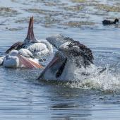 Australian pelican. Adults courting (male splashing in foreground, with two females swinging their heads). Berkley Vale, New South Wales,  Australia, September 2013. Image © Steven Merrett by Steven Merrett