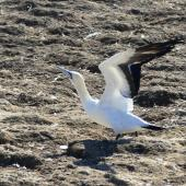 Cape gannet. Adult. Bird Island, Lamberts Bay, South Africa, June 2016. Image © Heather Smithers by Heather Smithers