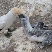 Australasian gannet. Adult feeding chick. Muriwai, February 2011. Image © Philip Griffin by Philip Griffin Philip Griffin © 2011