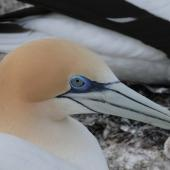 Australasian gannet. Adult at its nest. Cape Kidnappers, Plateau Colony, October 2007. Image © Steffi Ismar by Steffi Ismar Courtesy of S. Ismar