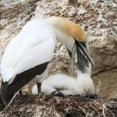 Australasian gannet. Adult regurgitating food for chick. Cape Kidnappers, Hawkes Bay, December 2013. Image © Adam Clarke by Adam Clarke