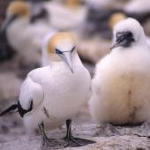 Australasian gannet. Adult and chick. Muriwai. Image © Terry Greene by Terry Greene