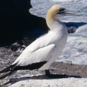 Australasian gannet. Adult non-breeder at colony. Muriwai. Image © Terry Greene by Terry Greene