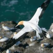 Australasian gannet. Adult in flight over colony. Muriwai. Image © Terry Greene by Terry Greene
