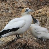 Australasian gannet. Adult at nest with chick. Cape Kidnappers, January 2013. Image © Adam Clarke by Adam Clarke