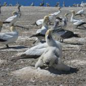 Australasian gannet. Adult with chick and juveniles in background. Cape Kidnappers, Hawke's Bay, March 2005. Image © Ian Armitage by Ian Armitage