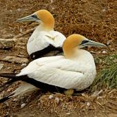 Australasian gannet. Adults sitting on an egg. Farewell Spit Colony Golden Bay, November 2012. Image © Rebecca Bowater FPSNZ by Rebecca Bowater  FPSNZ Courtesy of Rebecca Bowaterwww.floraandfauna.co.nz