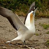 Australasian gannet. Adult ready to fly. Farewell Spit Colony Golden Bay, November 2012. Image © Rebecca Bowater FPSNZ by Rebecca Bowater  FPSNZ Courtesy of Rebecca Bowaterwww.floraandfauna.co.nz