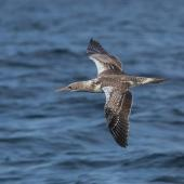 Australasian gannet. Juvenile in flight. At sea off Wollongong, New South Wales, Australia, April 2012. Image © Brook Whylie by Brook Whylie http://www.sossa-international .org