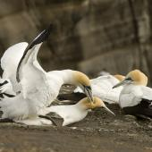 Australasian gannet. Pair mating. Muriwai, Auckland. Image © Eugene Polkan by Eugene Polkan