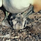 Australasian gannet. Chick c.1 week old in nest. Cape Kidnappers. Image © Department of Conservation (image ref: 10049385) by Chris Rudge, Department of Conservation Courtesy of Department of Conservation