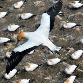 Australasian gannet. Adult in flight over colony. Muriwai gannet colony, October 2015. Image © Nick Goldwater by Nick Goldwater