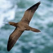 Brown booby. Immature in flight. Muriwai, December 2014. Image © Duncan Watson by Duncan Watson