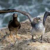 Brown booby. Immature (left) beside juvenile gannet. Muriwai gannet colony, March 2016. Image © John and Melody Anderson, Wayfarer International Ltd by John and Melody Anderson Love our Birds® | www.wayfarerimages.co.nz