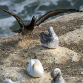 Brown booby. Immature with wings raised, among juvenile gannets. Muriwai gannet colony, March 2016. Image © John and Melody Anderson, Wayfarer International Ltd by John and Melody Anderson Love our Birds®| www.wayfarerimages.co.nz