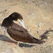 Brown booby. Juvenile, preening. Muriwai gannet colony, May 2016. Image © Marie-Louise Myburgh by Marie-Louise Myburgh