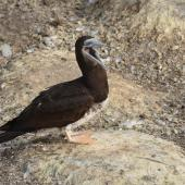 Brown booby. Immature. Muriwai gannet colony, May 2016. Image © Marie-Louise Myburgh by Marie-Louise Myburgh