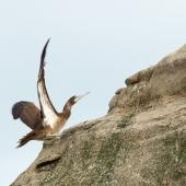 Brown booby. Immature with wings raised. Muriwai, March 2012. Image © Neil Fitzgerald by Neil Fitzgerald www.neilfitzgeraldphoto.co.nz