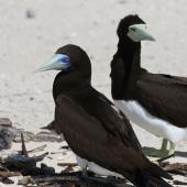 Brown booby. Adult pair (male on left). Michaelmas Cay, Queensland, Australia, July 2015. Image © John Fennell by John Fennell