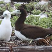 Brown booby. Adult female and chick. McKean, Phoenix Islands, June 2008. Image © Mike Thorsen by Mike Thorsen