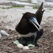Brown booby. Adult at nest with two eggs. Rawaki, Phoenix Islands, May 2008. Image © Mike Thorsen by Mike Thorsen