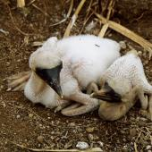 Masked booby. Very young chicks on nest. Curtis Island, October 1989. Image © Graeme Taylor by Graeme Taylor