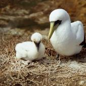 Masked booby. Adult with chick in nest. Curtis Island, November 1989. Image © Graeme Taylor by Graeme Taylor