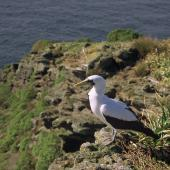 Masked booby. Adult standing on clifftop. Macauley Island, July 2002. Image © Terry Greene by Terry Greene