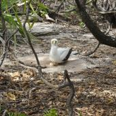 Masked booby. Adult with 2 eggs in nest circle. Henderson Island, Pitcairns, October 2011. Image © Matt Charteris by Matt Charteris