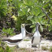 Masked booby. Adult and chick ready to fledge (personata subspecies). Henderson Island, Pitcairn group, November 2011. Image © Matt Charteris by Matt Charteris