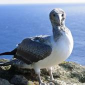 Masked booby. Fledgling showing front view of head. Macauley Island, July 2006. Image © Terry Greene by Terry Greene