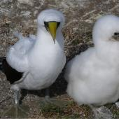 Masked booby. Adult and chick at nest. Kermadec Islands, North Meyer Islet, April 2008. Image © Steffi Ismar by Steffi Ismar Courtesy of S. Ismar.