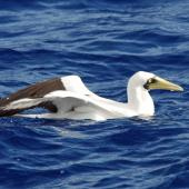 Masked booby. Adult yellow-eyed personata subpecies on water. Pacific Ocean, April 2009. Image © Nigel Voaden by Nigel Voaden http://www.flickr.com/photos/nvoaden/