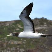 Masked booby. Juvenile in flight. Macauley Island, March 2021. Image © Scott Brooks (ourspot) by Scott Brooks