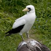 Masked booby. Adult standing on rock. Phillip Island, Off Norfolk Island, April 2012. Image © Philip Griffin by Philip Griffin