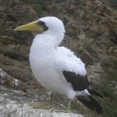 Masked booby. Adult standing. Kermadec Islands, North Meyer Islet, May 2007. Image © Steffi Ismar by Steffi Ismar Courtesy of S. Ismar.