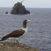Masked booby. Side view of immature bird. Kermadec Islands, North Meyer Islet, May 2007. Image © Steffi Ismar by Steffi Ismar Courtesy of S. Ismar.