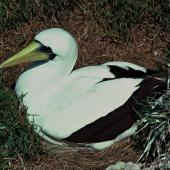 Masked booby. Adult on nest. Macauley Island, Kermadec Islands, November 1980. Image © Department of Conservation (image ref: 10037140) by Phil Moors, Department of Conservation Courtesy of Department of Conservation