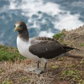Masked booby. Immature. Raoul Island, Kermadec Islands. Image © Gareth Rapley by Gareth Rapley