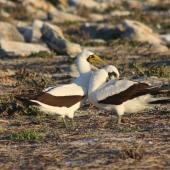 Masked booby. Courting pair. Rawaki, Phoenix Islands, June 2008. Image © Mike Thorsen by Mike Thorsen
