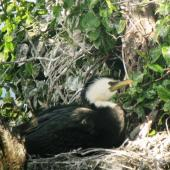 Little shag. Adult white-throated morph on nest. Lake Rotorua, November 2010. Image © Koos Baars by Koos Baars