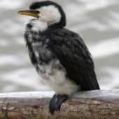 Little shag. Intermediate morph. Wanganui, January 2009. Image © Ormond Torr by Ormond Torr