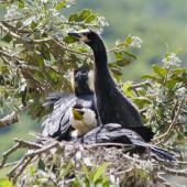 Little shag. Adults and juvenile at the nest. Tauranga, December 2010. Image © Raewyn Adams by Raewyn Adams