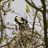 Little shag. Pied morph parent feeding young. Tauranga, December 2010. Image © Raewyn Adams by Raewyn Adams
