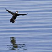 Little shag. White-throated morph about to touch down on water. Katikati, July 2012. Image © Raewyn Adams by Raewyn Adams