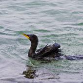 Little shag. Immature on water. Mount Maunganui, July 2012. Image © Raewyn Adams by Raewyn Adams