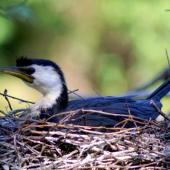 Little shag. Adult pied morph on nest. Wanganui, March 2007. Image © Alex Scott by Alex Scott