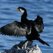 Little shag. Adult white-throated morph drying wings. Kaikoura coast, July 2007. Image © Rebecca Bowater FPSNZ by Rebecca Bowater  FPSNZ Courtesy of Rebecca Bowaterwww.floraandfauna.co.nz